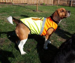 Beagle Hundemantel Softshell wasserdicht zweifarbig Orange und Gelb RR DOG`s WARE Hundebekleidung nach Maß