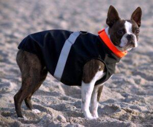 Boston Terrier Hundemantel Softshell wasserdicht Schwarz RR DOG`s WARE Hundebekleidung nach Maß