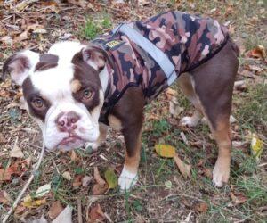 Continental Bulldogge Hundemantel Softshell wasserdicht Camouflage RR DOG`s WARE Hundebekleidung nach Maß