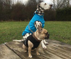 Französische Bulldogge und Dalmatiner Hundemantel Softshell wasserdicht Türkis und Schwarz RR DOG`s WARE Hundebekleidung nach Maß