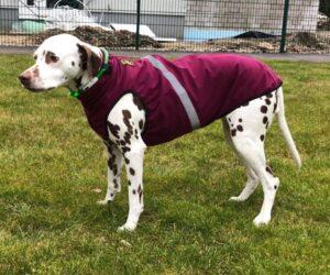 Dalmatiner Hundemantel Softshell wasserdicht Berry RR DOG`s WARE Hundebekleidung nach Maß