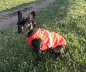 Französische Bulldogge Hundemantel Softshell wasserdicht Signalorange RR DOG`s WARE Hundebekleidung nach Maß