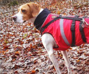 Jagdhund Pointer Hundemantel Softshell Signalorange mit Geschirr RR DOG`s WARE Hundebekleidung nach Maß