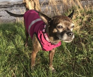 Mischlingshund Hundemantel Softshell wasserdicht Berry RR DOG`s WARE