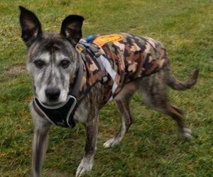 Mischlingshund Hundemantel Softshell wasserdicht Camouflage mit Geschirr RR DOG`s WARE