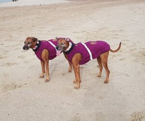 Rhodesian Ridgeback Hundemantel Softshell Berry wasserdicht RR DOG`s WARE